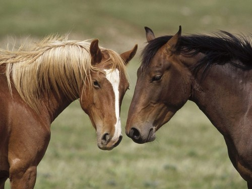 Two-horses-in-love-wallpaper-1024x768_large